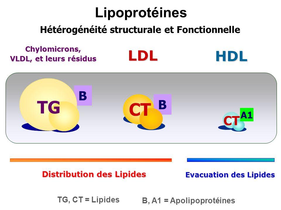 Lipoprotéines B B LDL CT Chylomicrons, VLDL, et leurs résidus TG Hétérogénéité structurale et Fonctionnelle TG, CT = Lipides B, A1 = Apolipoprotéines