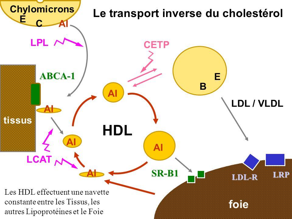 foie tissus LDL / VLDL LCAT CETP AI SR-B1 HDL LDL-R LRP ABCA-1 E B Le transport inverse du cholestérol Les HDL effectuent une navette constante entre