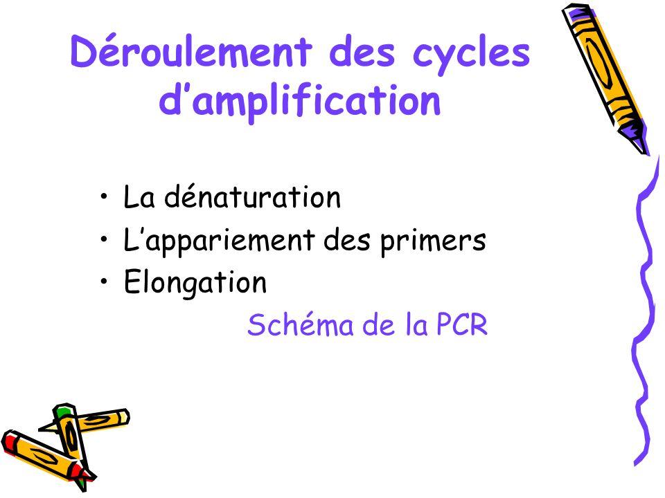 Déroulement des cycles damplification La dénaturation Lappariement des primers Elongation Schéma de la PCR
