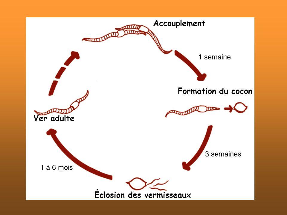 1 semaine 3 semaines Accouplement Éclosion des vermisseaux 1 à 6 mois Ver adulte Formation du cocon