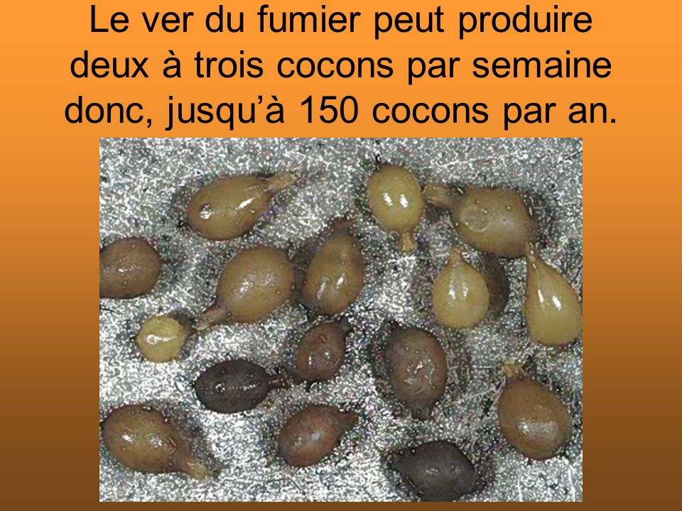 Le ver du fumier peut produire deux à trois cocons par semaine donc, jusquà 150 cocons par an.