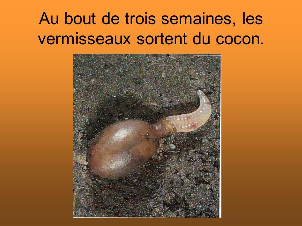 Les vermisseaux mettront entre un et six mois pour devenir adulte selon la température du milieu où ils se trouvent.