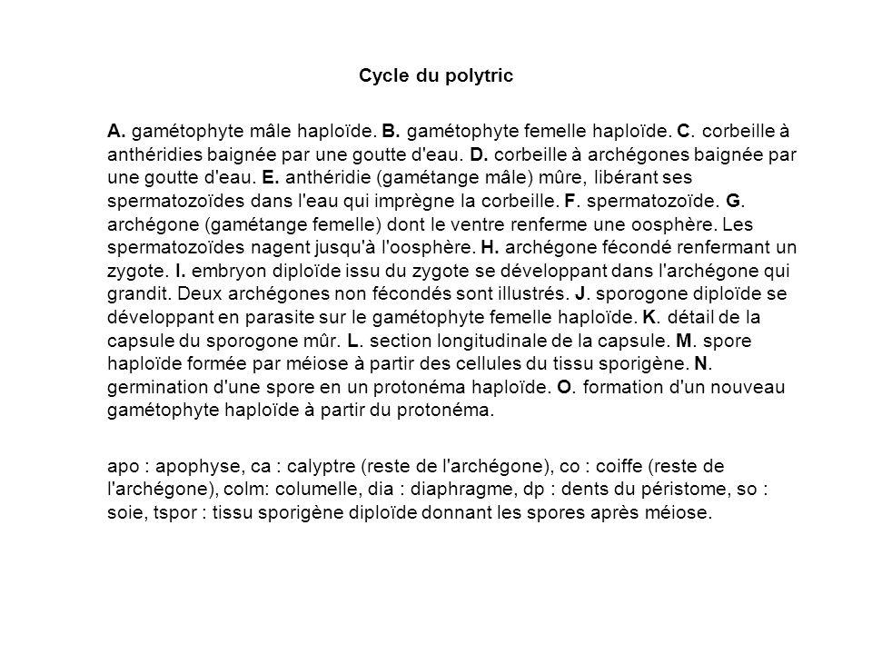 Cycle du polytric A. gamétophyte mâle haploïde. B. gamétophyte femelle haploïde. C. corbeille à anthéridies baignée par une goutte d'eau. D. corbeille