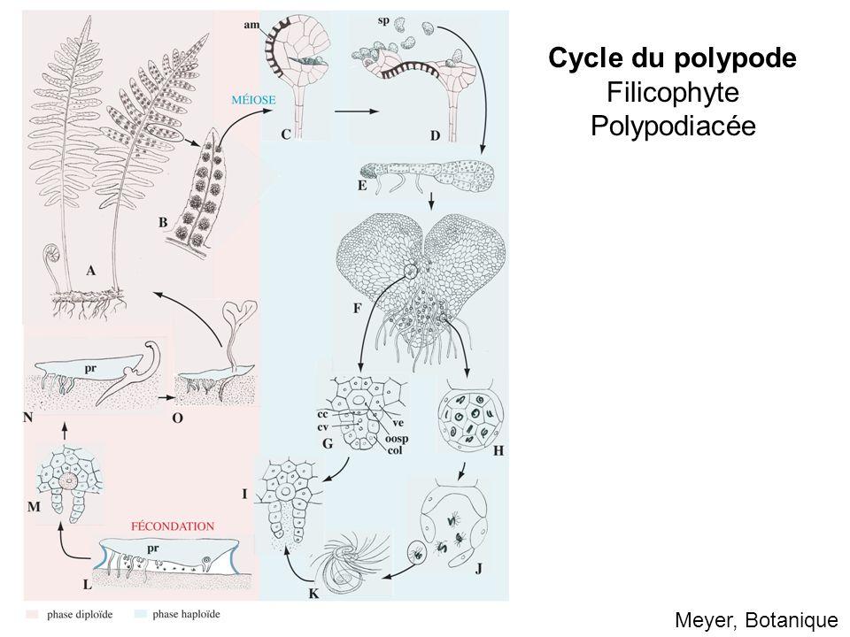 Meyer, Botanique Cycle du polypode Filicophyte Polypodiacée