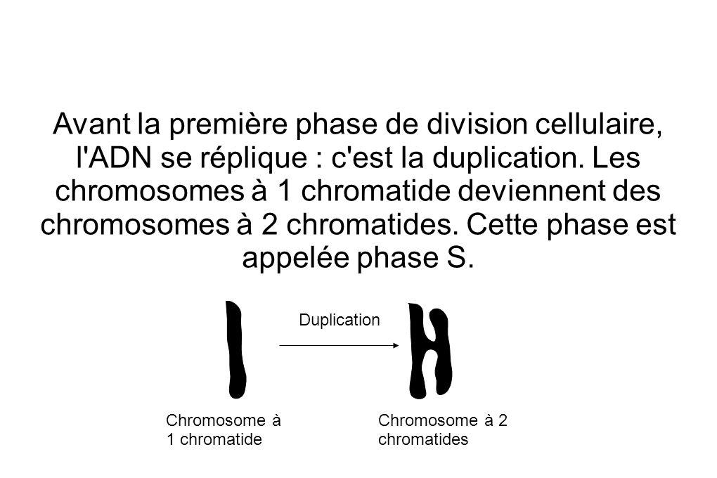 Avant la première phase de division cellulaire, l ADN se réplique : c est la duplication.
