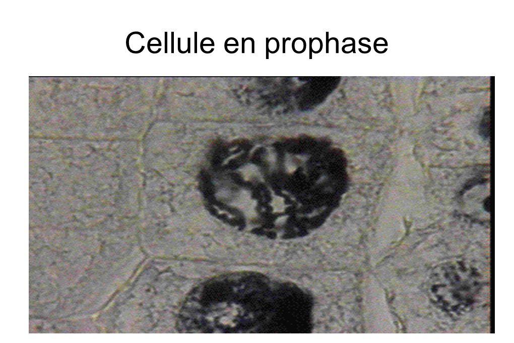 Cellule en prophase