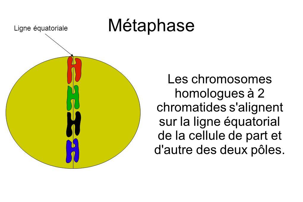 Métaphase Les chromosomes homologues à 2 chromatides s alignent sur la ligne équatorial de la cellule de part et d autre des deux pôles.