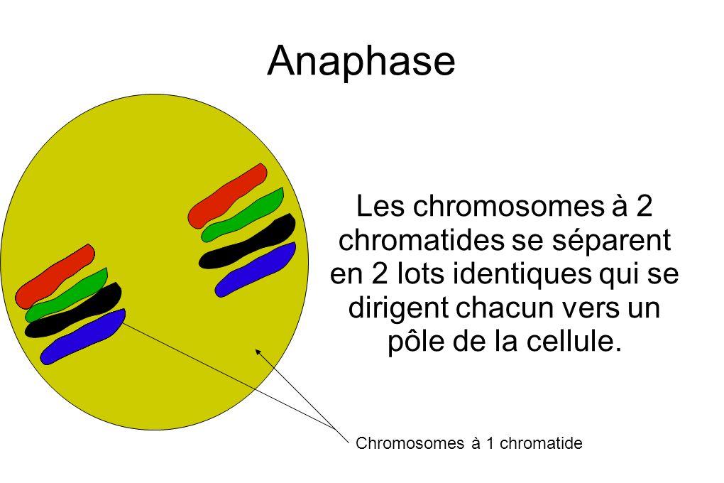 Anaphase Les chromosomes à 2 chromatides se séparent en 2 lots identiques qui se dirigent chacun vers un pôle de la cellule.