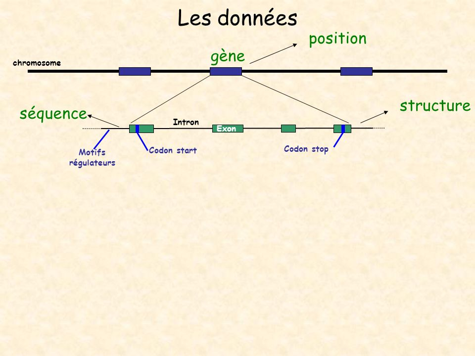 Les données AAAAA Exon Intron ARN messager Codon start Codon stop chromosome Quantification expression ADNc ESTs séquence gène position structure séquence Motifs régulateurs ARN pré- messager