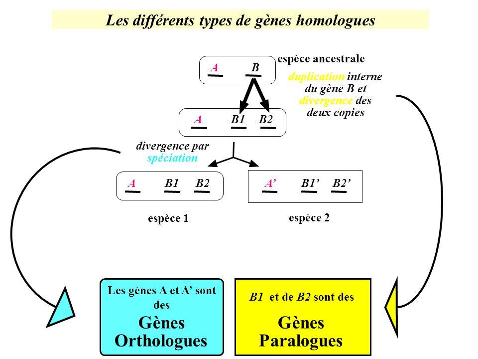 Les différents types de gènes homologues AB AB1B2 AB1B2AB1B2 Les gènes A et A sont des Gènes Orthologues B1 et de B2 sont des Gènes Paralogues duplica
