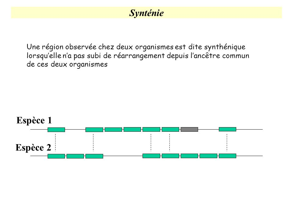 Synténie Une région observée chez deux organismes est dite synthénique lorsquelle na pas subi de réarrangement depuis lancêtre commun de ces deux orga