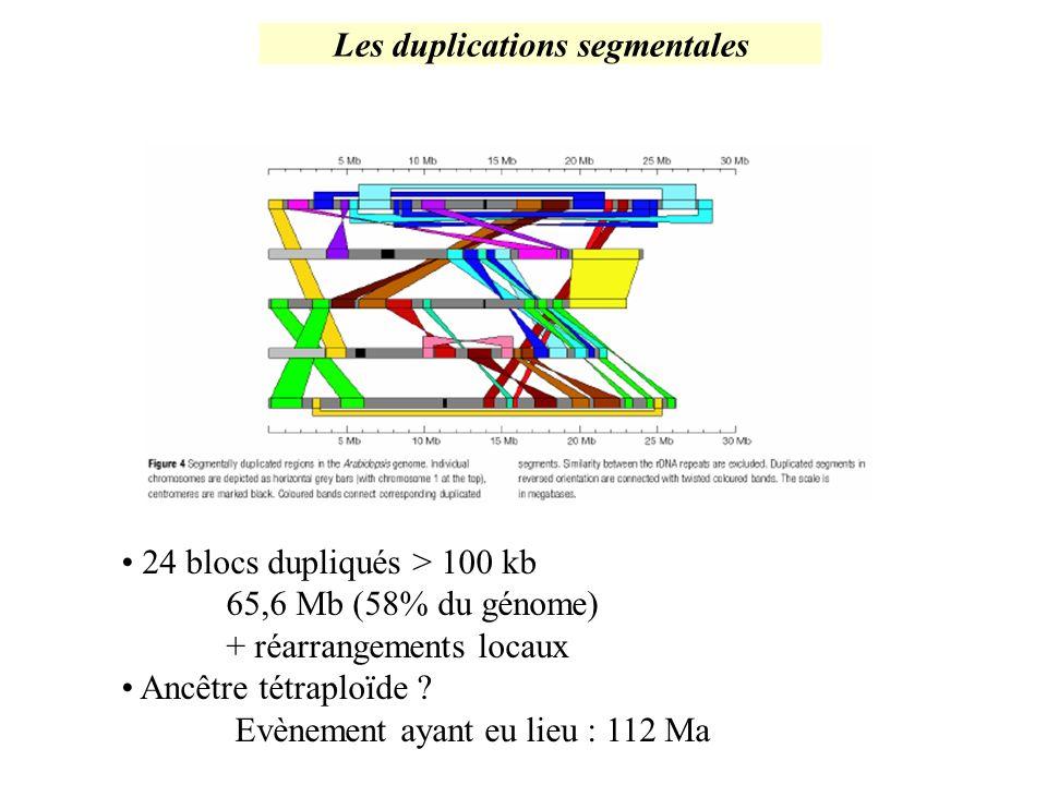 Les duplications segmentales 24 blocs dupliqués > 100 kb 65,6 Mb (58% du génome) + réarrangements locaux Ancêtre tétraploïde ? Evènement ayant eu lieu
