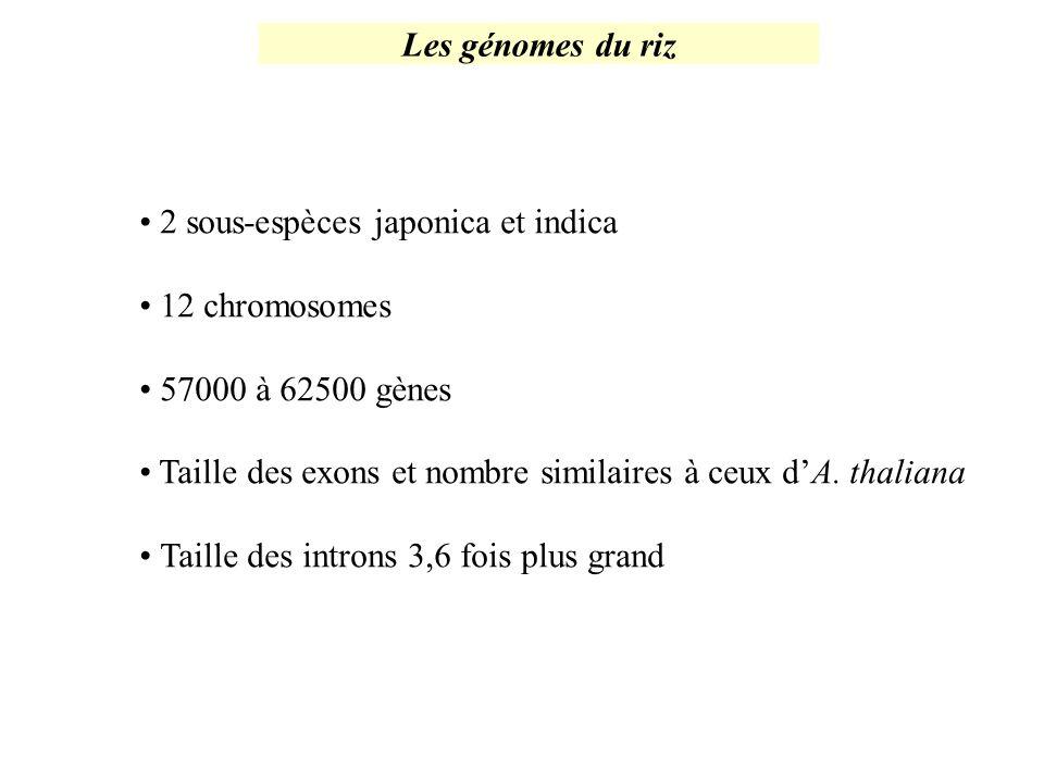 Les génomes du riz 2 sous-espèces japonica et indica 12 chromosomes 57000 à 62500 gènes Taille des exons et nombre similaires à ceux dA. thaliana Tail