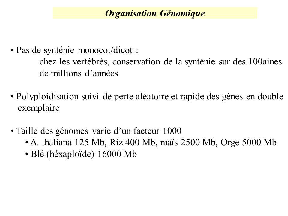 Organisation Génomique Pas de synténie monocot/dicot : chez les vertébrés, conservation de la synténie sur des 100aines de millions dannées Polyploidi