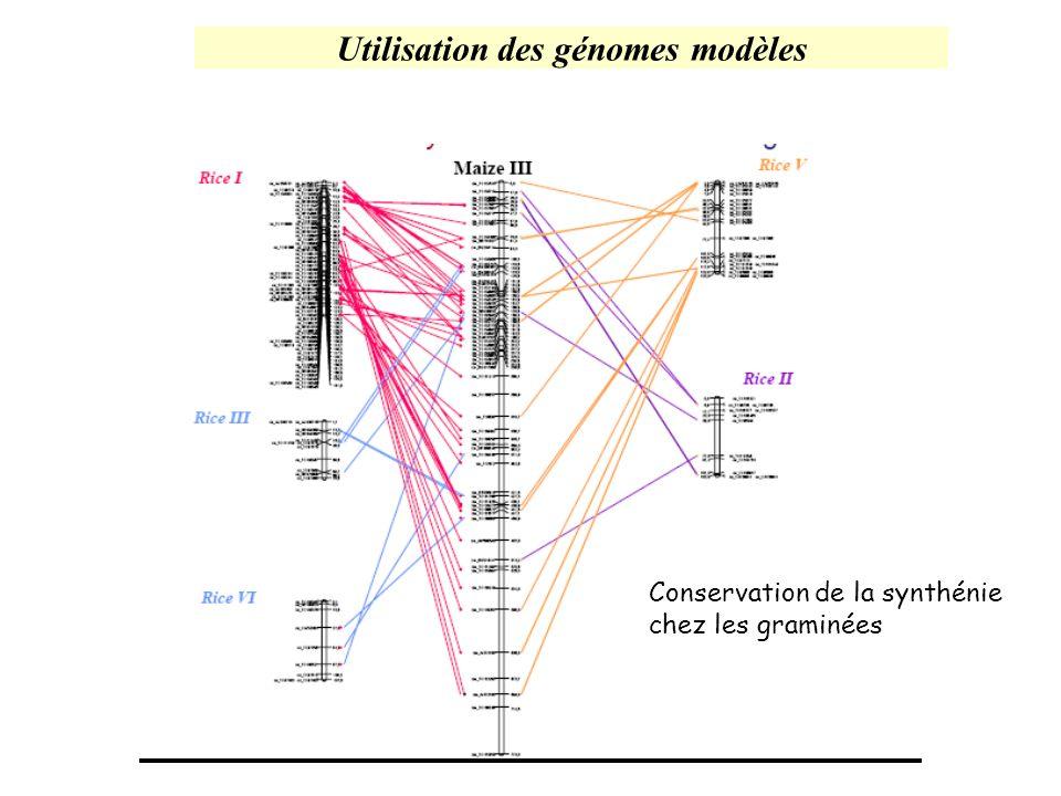 Utilisation des génomes modèles Conservation de la synthénie chez les graminées