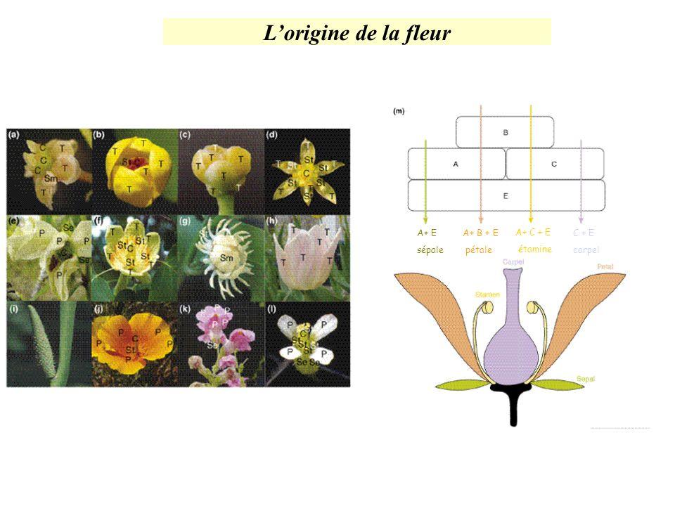 Lorigine de la fleur A+ E sépale A+ B + E pétale A+ C + E étamine C + E carpel