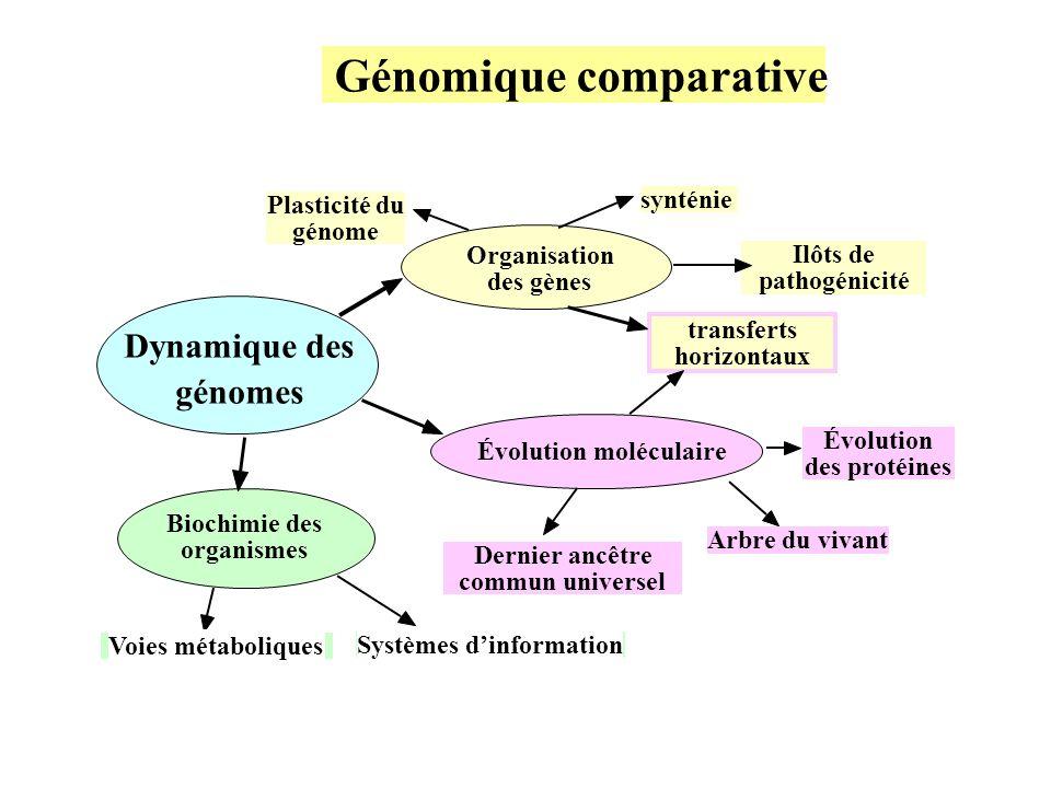 Vue d ensemble : comparaison des données issues du séquençage de génomes d organismes variés peut se faire à différents niveaux : comparer les jeux de gènes (protéines) entre génomes informations sur la dynamique des génomes à courte et longue distance comparer les gènes (protéines) homologues entre eux au niveau de leur séquence notion de gènes paralogues et orthologues comparer la position des gènes et leur voisinage sur le chromosome notion de synténie notion de contexte génétique Incidence : informations sur les relations fonctionnelles, le métabolisme, la physiologie d organismes peu ou pas étudiés mise en évidence de différents types de gènes : informationnel, opérationnel mise en évidence de phénomènes de transfert horizontal