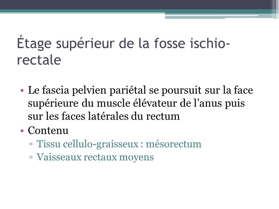 Étage supérieur de la fosse ischio- rectale Le fascia pelvien pariétal se poursuit sur la face supérieure du muscle élévateur de lanus puis sur les fa