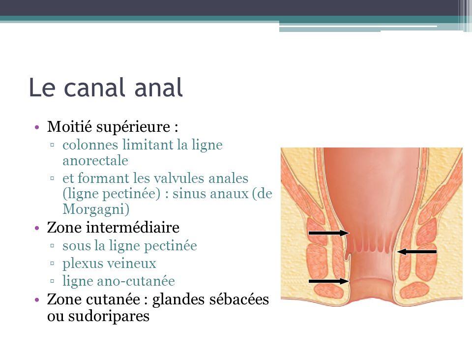 Le canal anal Moitié supérieure : colonnes limitant la ligne anorectale et formant les valvules anales (ligne pectinée) : sinus anaux (de Morgagni) Zo