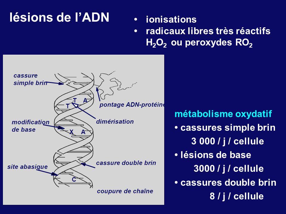 lésions de lADN métabolisme oxydatif cassures simple brin 3 000 / j / cellule lésions de base 3000 / j / cellule cassures double brin 8 / j / cellule
