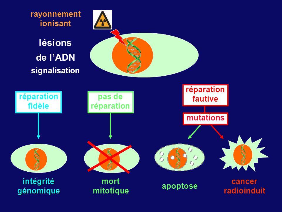 lésions de lADN signalisation rayonnement ionisant apoptose cancer radioinduit mutations réparation fautive intégritégénomique réparation fidèle mort