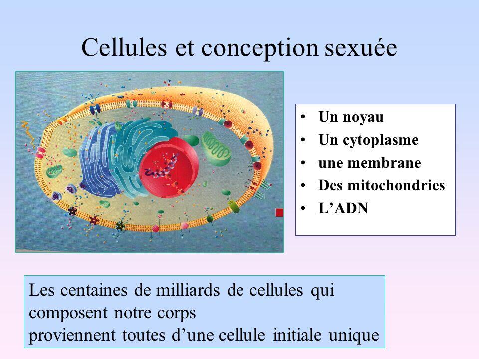 Cellules et conception sexuée Un noyau Un cytoplasme une membrane Des mitochondries LADN Les centaines de milliards de cellules qui composent notre co