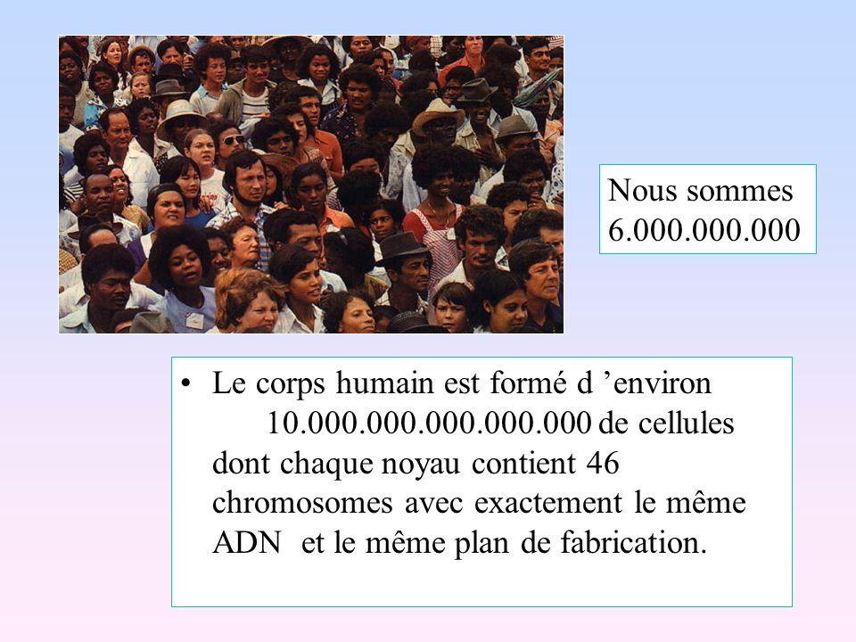 Le corps humain est formé d environ 10.000.000.000.000.000 de cellules dont chaque noyau contient 46 chromosomes avec exactement le même ADN et le mêm