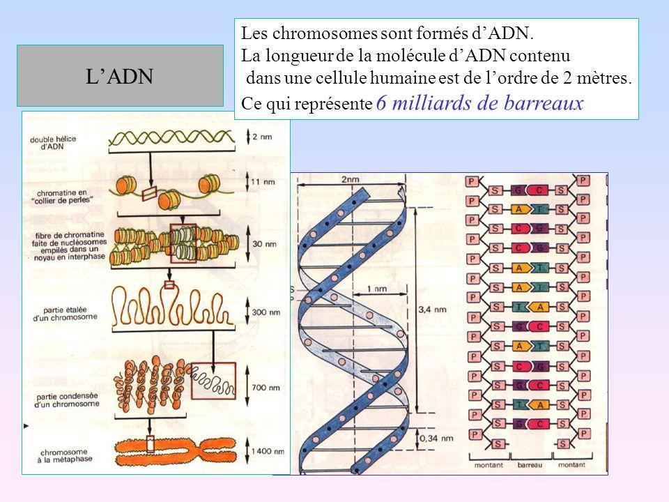 LADN Les chromosomes sont formés dADN. La longueur de la molécule dADN contenu dans une cellule humaine est de lordre de 2 mètres. Ce qui représente 6