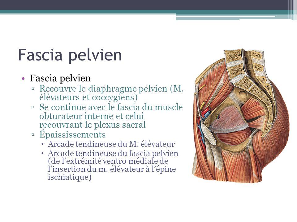 Fascia pelvien Recouvre le diaphragme pelvien (M. élévateurs et coccygiens) Se continue avec le fascia du muscle obturateur interne et celui recouvran
