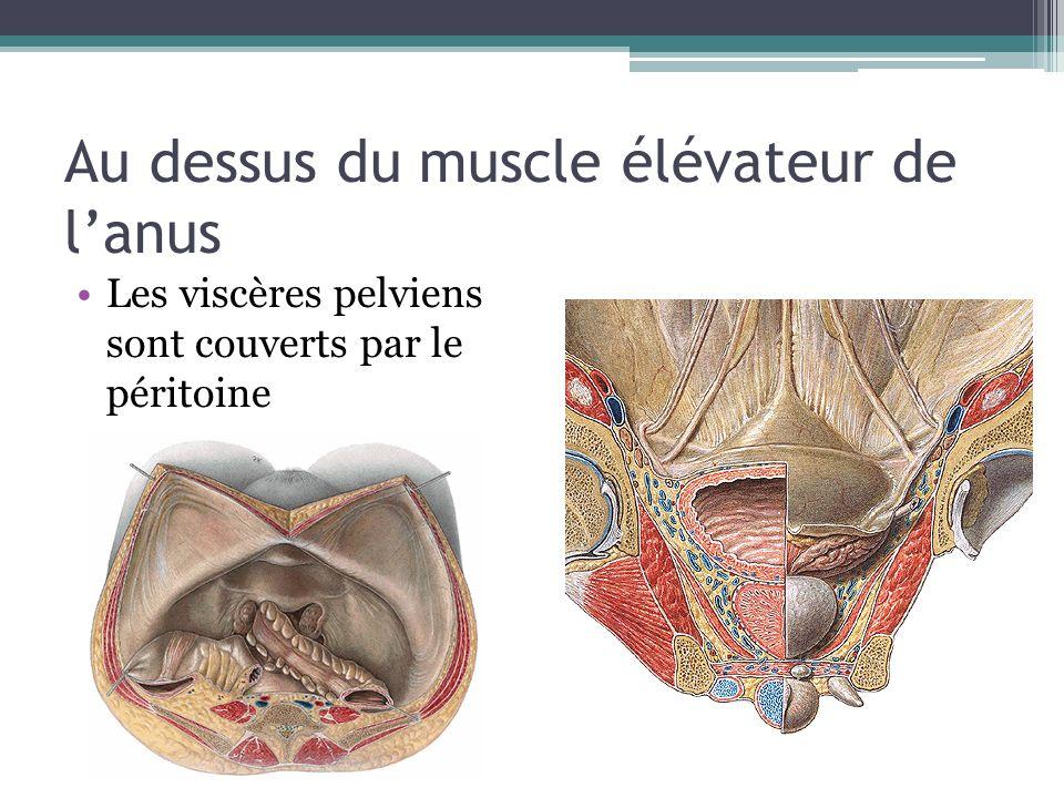 Les viscères pelviens sont couverts par le péritoine Au dessus du muscle élévateur de lanus