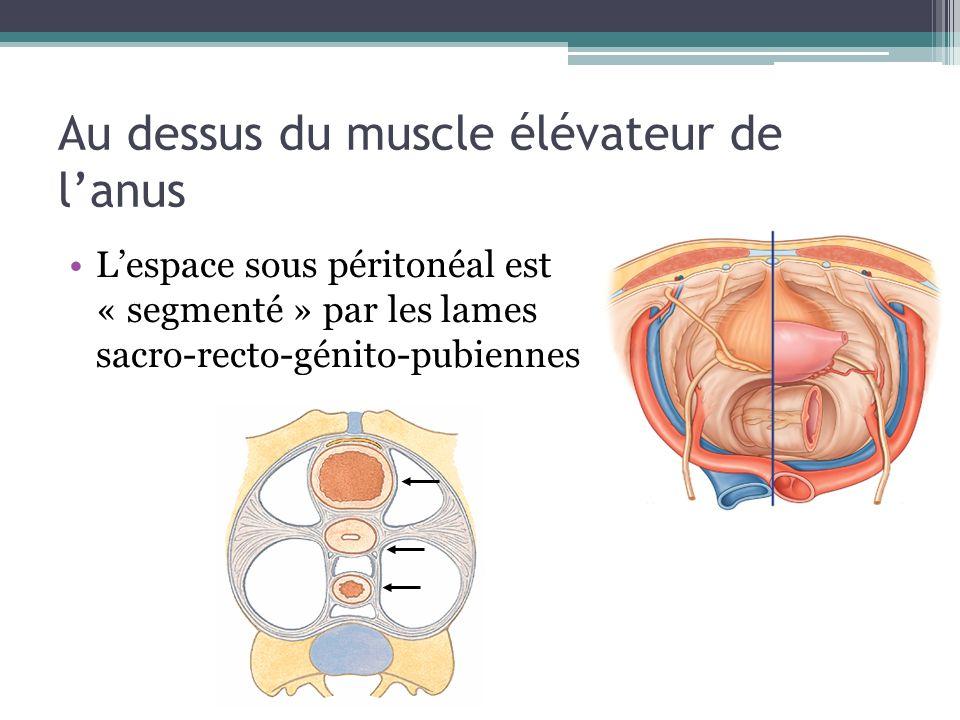 Au dessus du muscle élévateur de lanus Lespace sous péritonéal est « segmenté » par les lames sacro-recto-génito-pubiennes