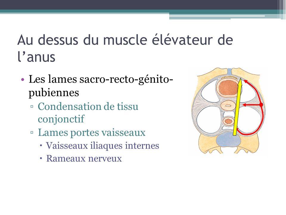 Au dessus du muscle élévateur de lanus Les lames sacro-recto-génito- pubiennes Condensation de tissu conjonctif Lames portes vaisseaux Vaisseaux iliaq