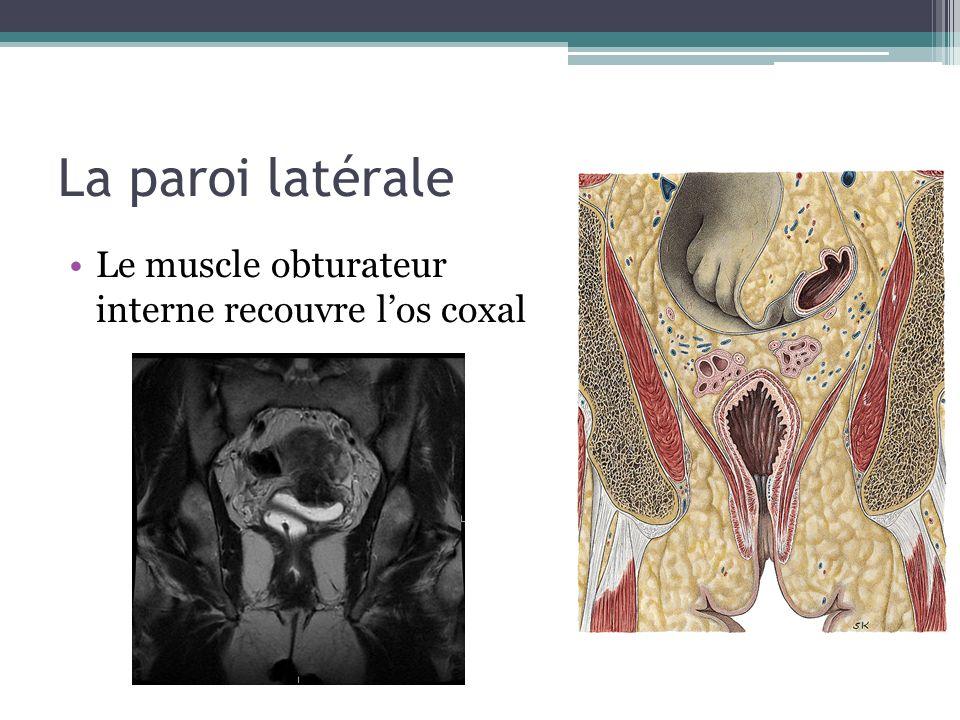 La paroi latérale Le muscle obturateur interne recouvre los coxal