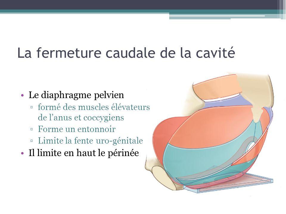 La fermeture caudale de la cavité Le diaphragme pelvien formé des muscles élévateurs de lanus et coccygiens Forme un entonnoir Limite la fente uro-génitale Il limite en haut le périnée Sattache latéralement au muscle obturateur interne