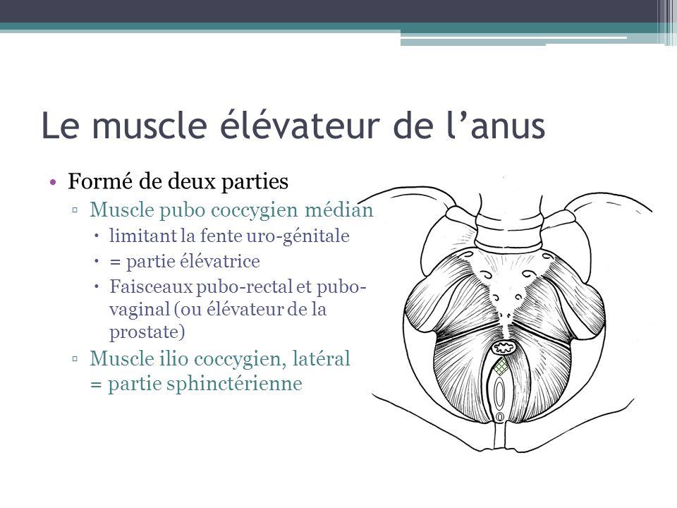 Il participe à la continence digestive Et joue un rôle important dans la statique pelvienne