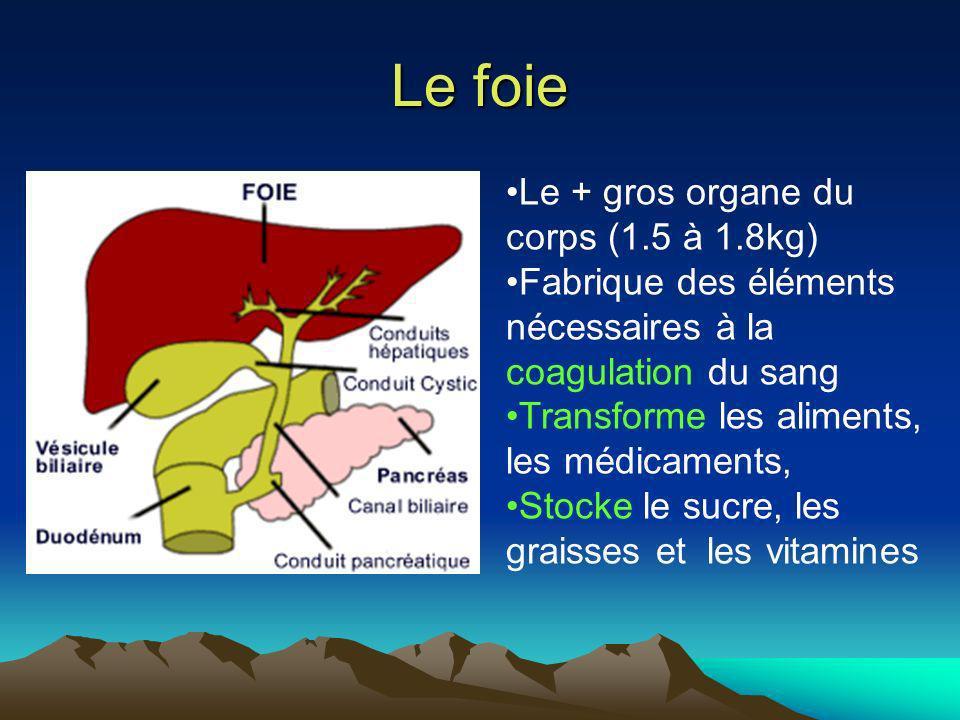 Le foie Le + gros organe du corps (1.5 à 1.8kg) Fabrique des éléments nécessaires à la coagulation du sang Transforme les aliments, les médicaments, S