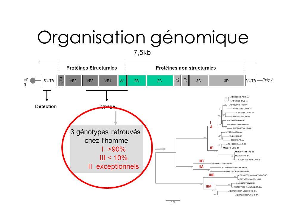 VP g Organisation génomique 5UTR VP4 VP2VP3VP12A2B2C 3B3A 3C3D DétectionTypage 7,5kb Protéines StructuralesProtéines non structurales IAIA IB IIB IIA IIIB IIIA 3 génotypes retrouvés chez lhomme I >90% III < 10% II exceptionnels Poly-A 3UTR