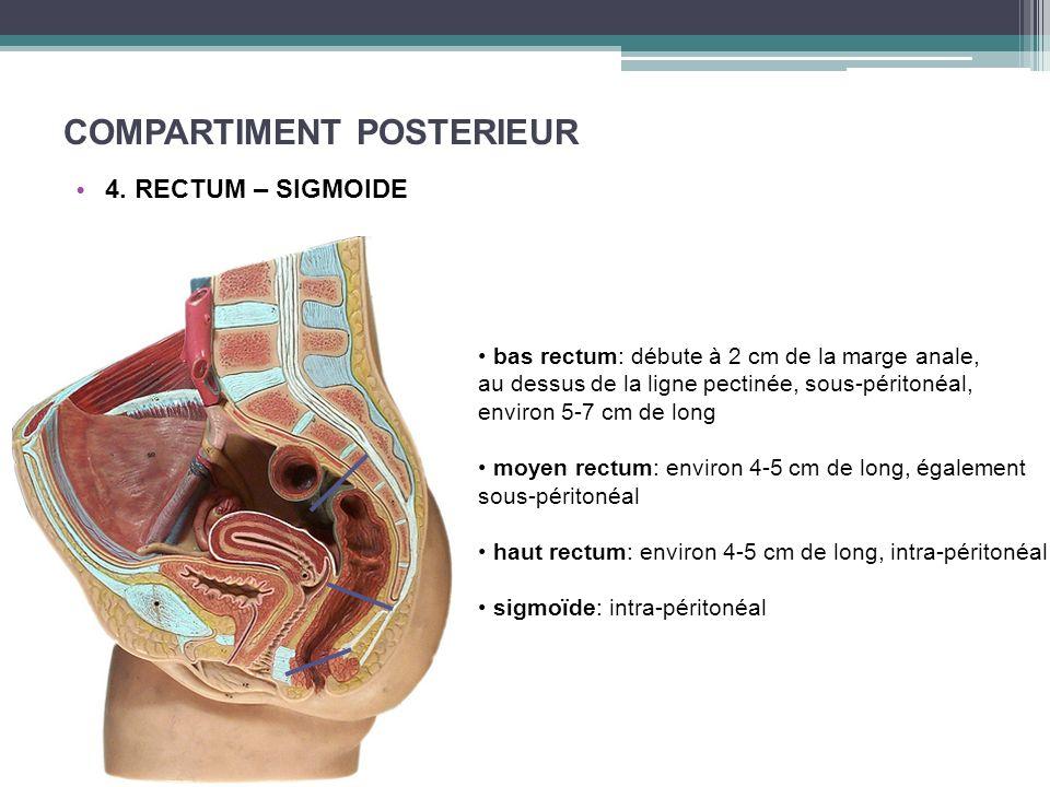 COMPARTIMENT POSTERIEUR 4. RECTUM – SIGMOIDE bas rectum: débute à 2 cm de la marge anale, au dessus de la ligne pectinée, sous-péritonéal, environ 5-7