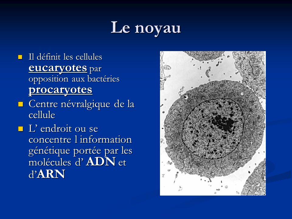Le noyau Il définit les cellules eucaryotes par opposition aux bactéries procaryotes Il définit les cellules eucaryotes par opposition aux bactéries p