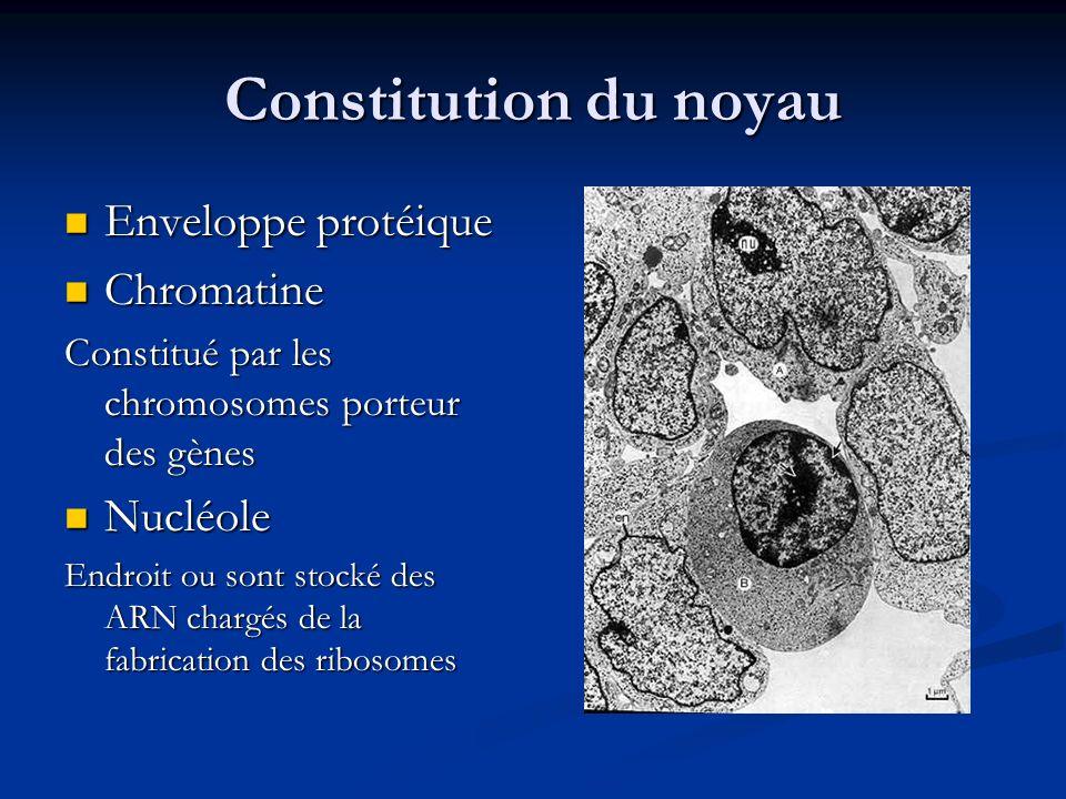 Constitution du noyau Enveloppe protéique Enveloppe protéique Chromatine Chromatine Constitué par les chromosomes porteur des gènes Nucléole Nucléole