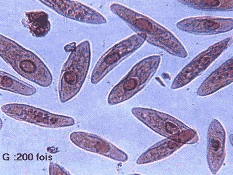 La mitose La métaphase La métaphase 1.Déplacement des chromosomes vers léquateur de la cellule 2.