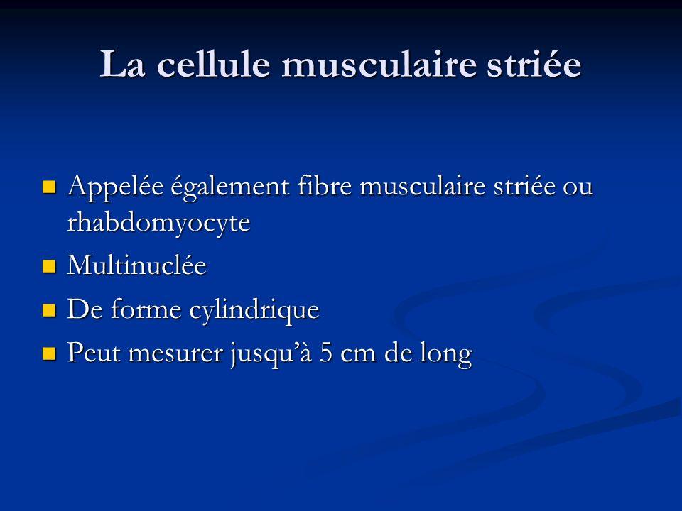 La cellule musculaire striée Appelée également fibre musculaire striée ou rhabdomyocyte Appelée également fibre musculaire striée ou rhabdomyocyte Mul