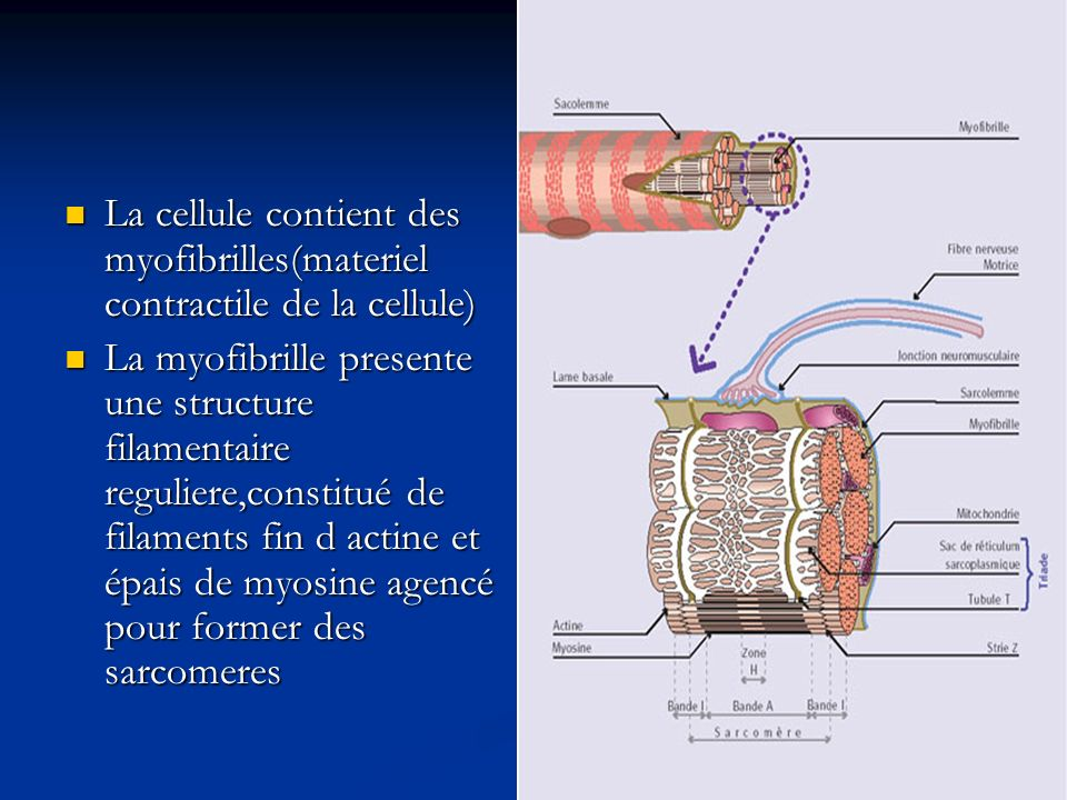La cellule contient des myofibrilles(materiel contractile de la cellule) La cellule contient des myofibrilles(materiel contractile de la cellule) La m