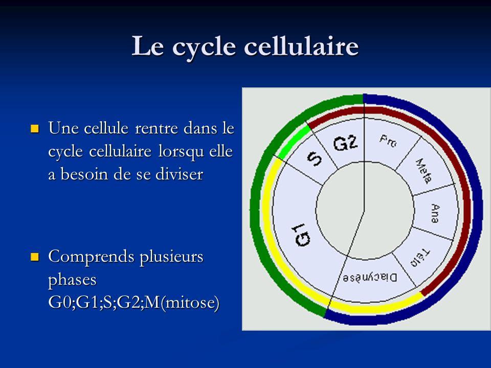 Le cycle cellulaire Une cellule rentre dans le cycle cellulaire lorsqu elle a besoin de se diviser Une cellule rentre dans le cycle cellulaire lorsqu