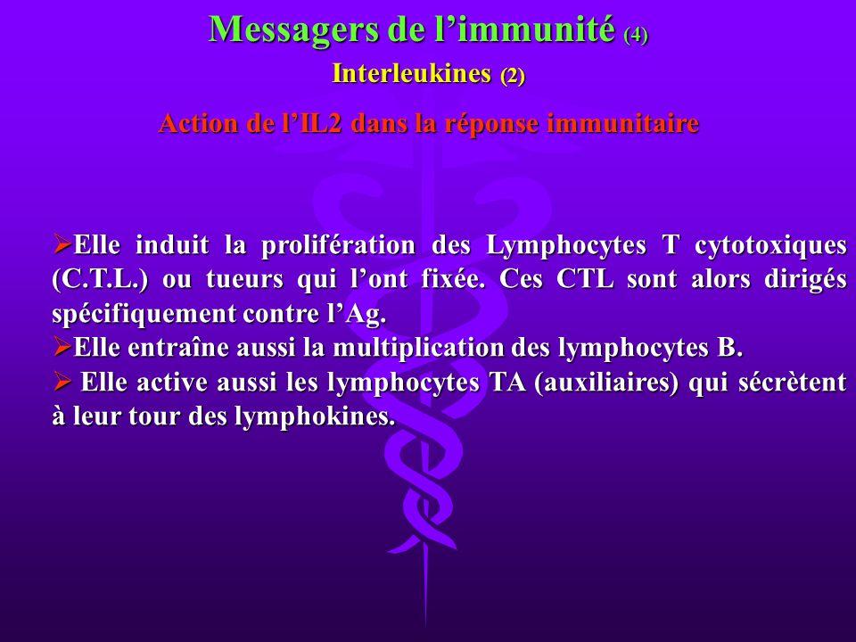 Elle induit la prolifération des Lymphocytes T cytotoxiques (C.T.L.) ou tueurs qui lont fixée. Ces CTL sont alors dirigés spécifiquement contre lAg. E