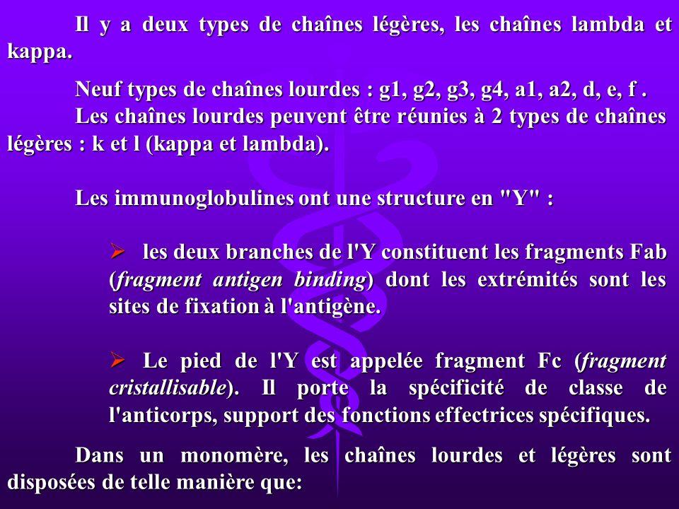 Il y a deux types de chaînes légères, les chaînes lambda et kappa. Neuf types de chaînes lourdes : g1, g2, g3, g4, a1, a2, d, e, f. Les chaînes lourde