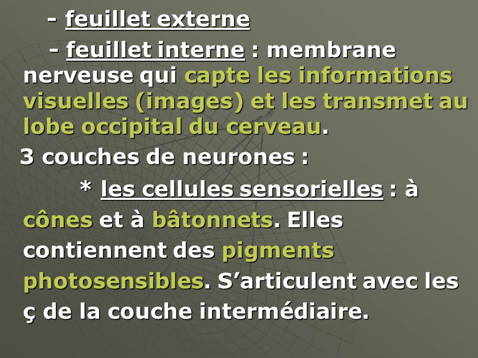 - feuillet externe - feuillet externe - feuillet interne : membrane nerveuse qui capte les informations visuelles (images) et les transmet au lobe occ