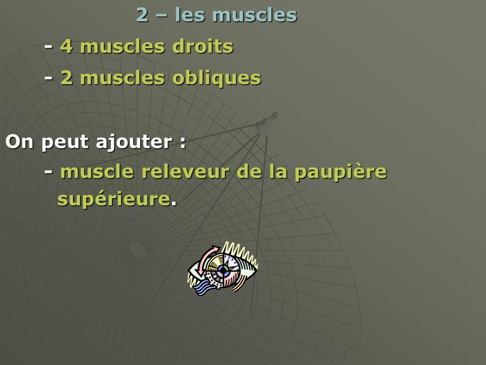 2 – les muscles 2 – les muscles - 4 muscles droits - 4 muscles droits - 2 muscles obliques - 2 muscles obliques On peut ajouter : - muscle releveur de