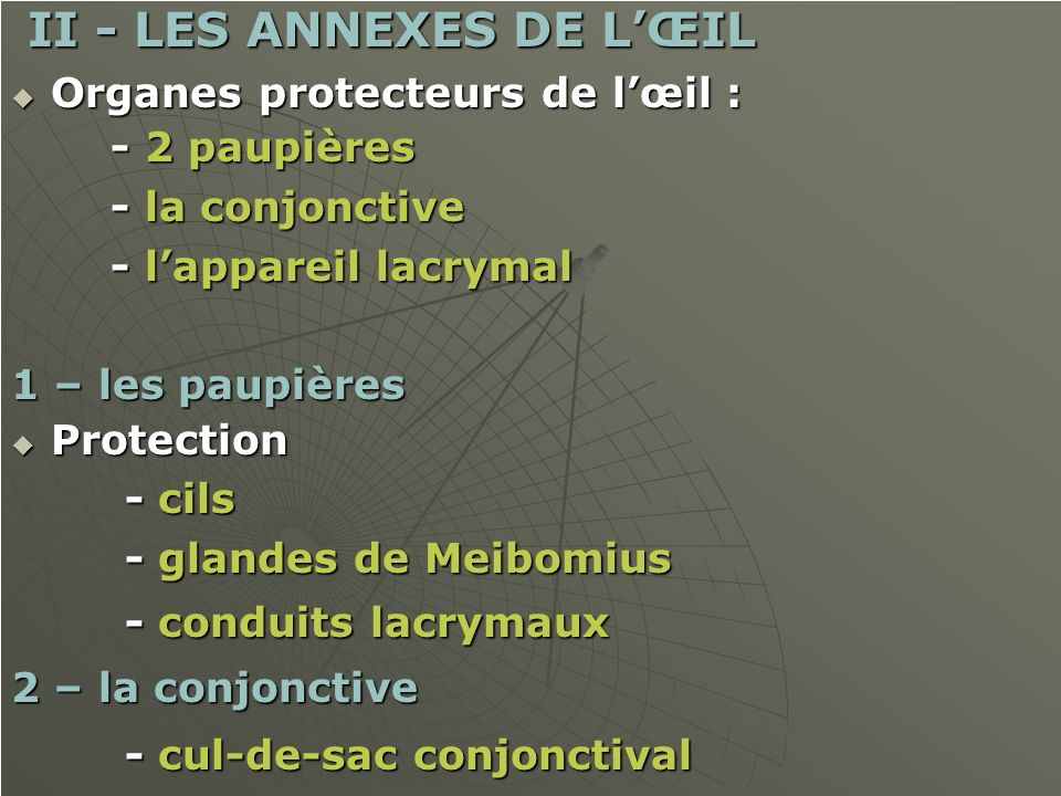 II - LES ANNEXES DE LŒIL II - LES ANNEXES DE LŒIL Organes protecteurs de lœil : Organes protecteurs de lœil : - 2 paupières - 2 paupières - la conjonc