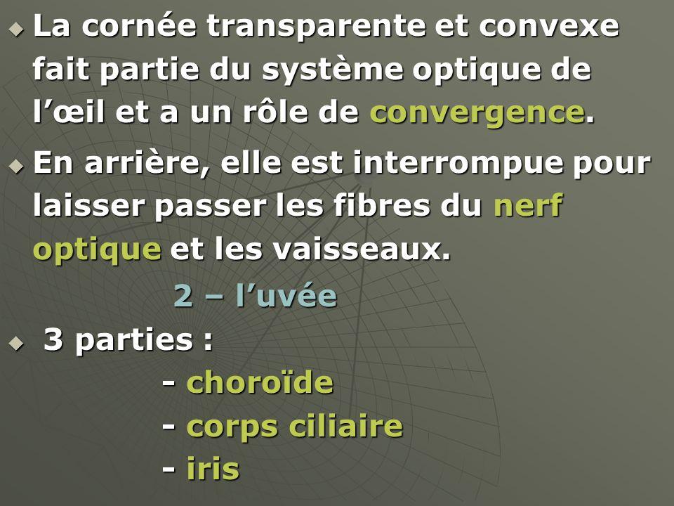 La cornée transparente et convexe fait partie du système optique de lœil et a un rôle de convergence. La cornée transparente et convexe fait partie du